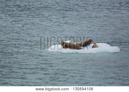 Harbor Seal in Alaska, USA