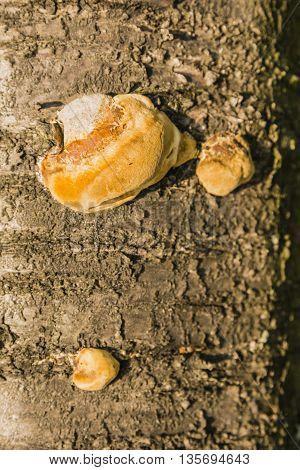 Phellinus Pomaceus (pers.) Maire - Fungus.
