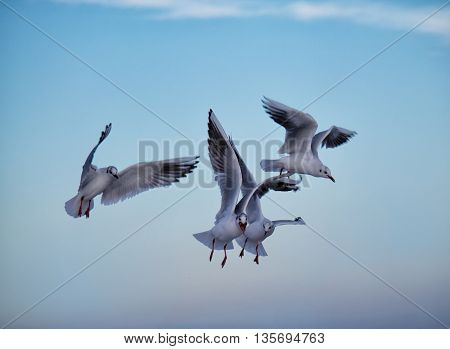 Common gulls flying iabove the sea with blue sky above. One gull has food in its mouth