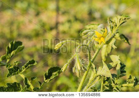 Flower Momentum Tomato Edible.