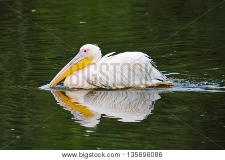 A White European Pelican swimming in a lake in Netherlands