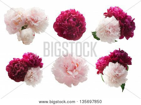 Set of peonies flower isolated on white background