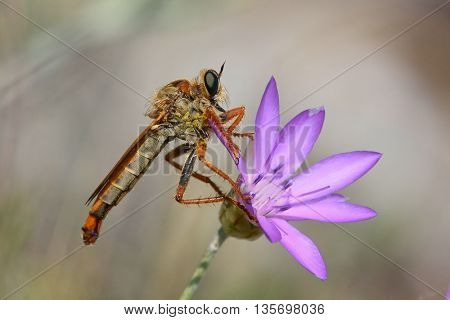 robber fly on flower