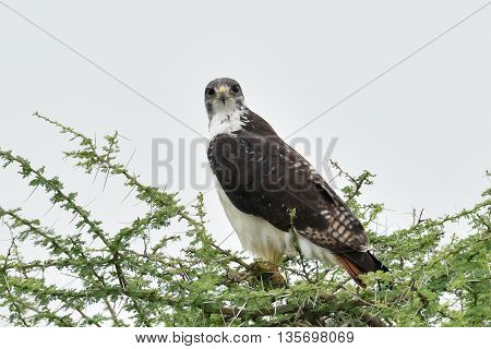 Red-necked buzzard (Buteo auguralis) in natural habitat