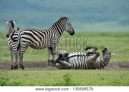 Zebra in Serengeti National Park, Tanzania, East Africa