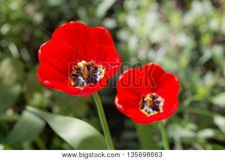 two red tulips in the spring close up