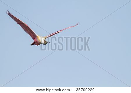 Roseate Spoonbill flying left to right wings high