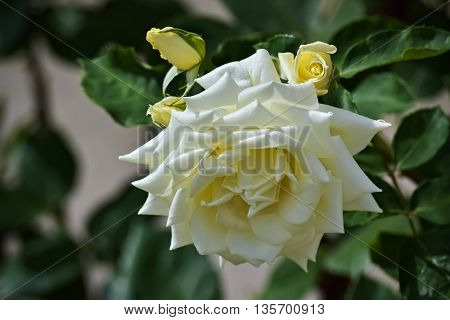 Closeup of a beautiful white rose during the springtime
