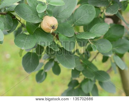 immature quince on the tree