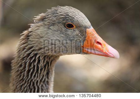 Portrait of a Greylag Goose (Anser Anser) Close Up