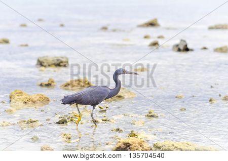 Pacific Reef Egret or Egretta sacra bird in the sea