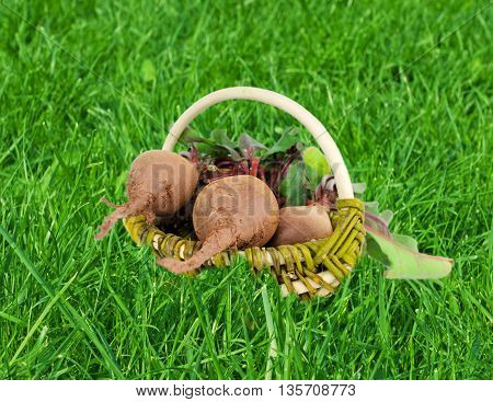 fresh organic beets n a basket on the green grass
