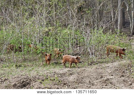 The young wild boars out of forest