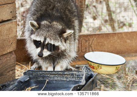 The raccoon hiding in the zoo cage