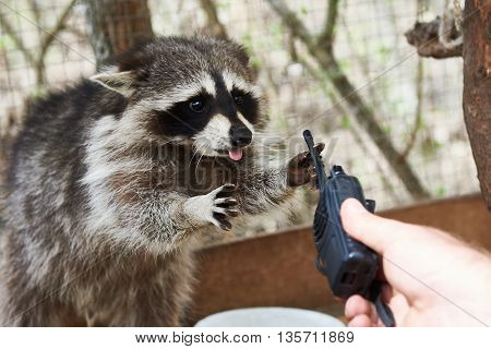 The raccoon in cage plays with man