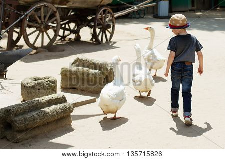 Child Playing With Geese At Pet Zoo