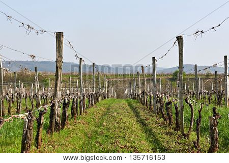 Field Of Grapevine In Spring After Garter