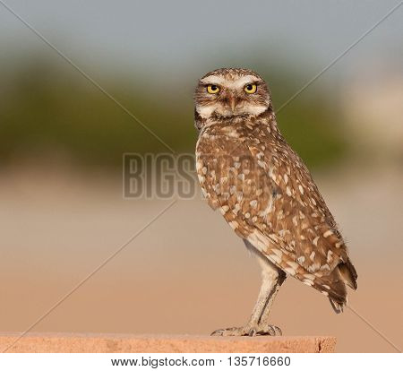 Burrowing Owl standing on a block wall in Arizona