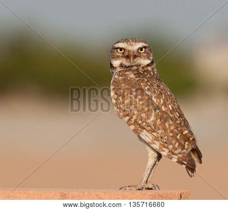 Burrowing Owl standing on a block wall in Arizona