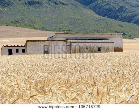 Wheat Field, Old Farm House, Western Cape  South Africa  03