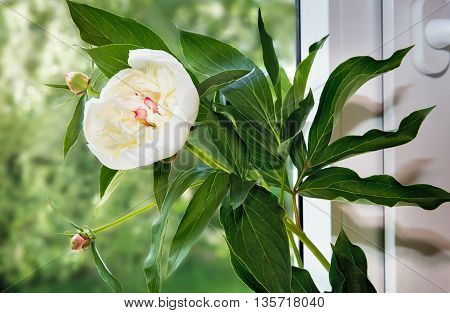 On the window sill is a vase with the flower of the white peony with green leaves.