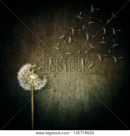 A lot of seeds escape from a dandelion flower on a gray backround. Breaking free life journey concept