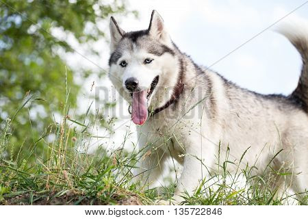 Siberian husky on a walk. Bottom view. Dog tired after a long run. Husky frolics in the wild nature.