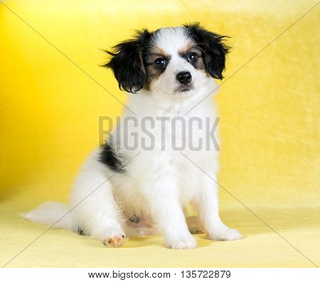 Cute puppy of the Continental Toy spaniel - Phalene -on a yellow background
