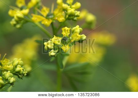 Flower of a common rue plant (Ruta graveolens).