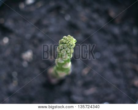 Single growing  asparagus. Top view, selective  focus