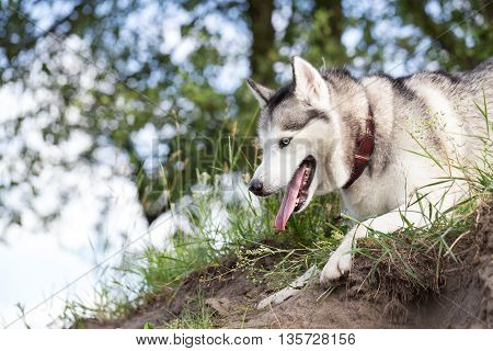Siberian Husky on the edge of the slope. Husky in the wild nature.