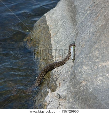 Dice snake (Natrix tessellata) trying to take fish out from the water to stone