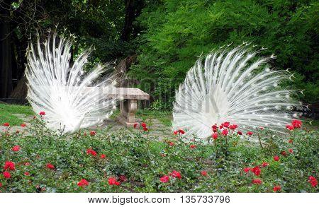 2 white peacock