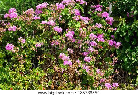 Bushes with pink flowers on Crete island Greece.