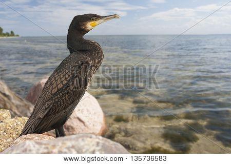 Cormorant on the stony shore of the bay
