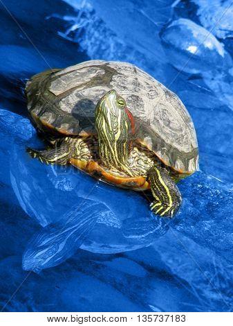 lady turtle