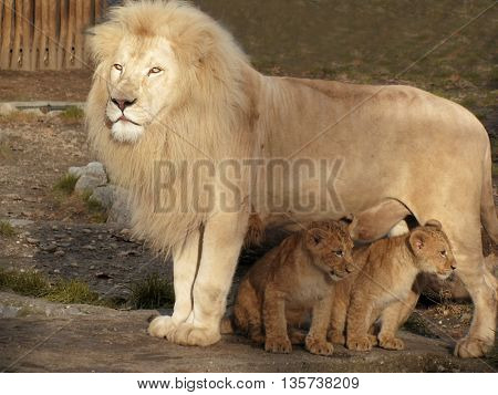 Lion caring for his two little babies