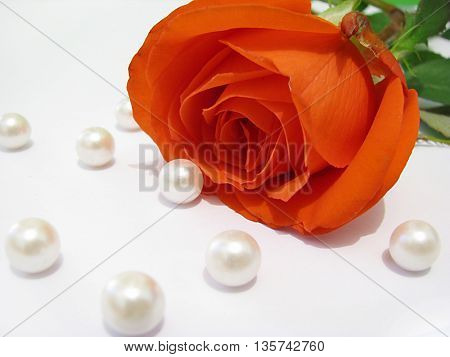 Beautiful red rose with pearls