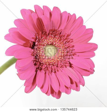 flower gerbera pink daisy on white background