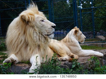 couples of lion