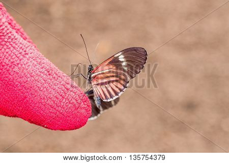 Red Cattle Heart Swallowtail Butterfly Andean Mountains South America