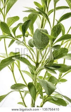 Stevia rebaudiana plant - alternative sweetener herb