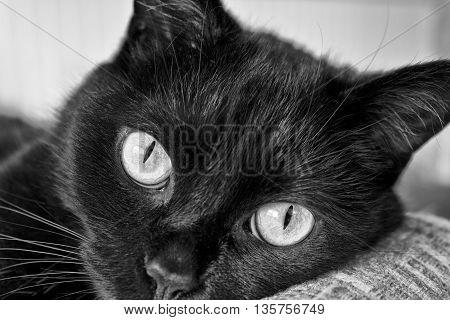 Black Cat Gazing - Black and White