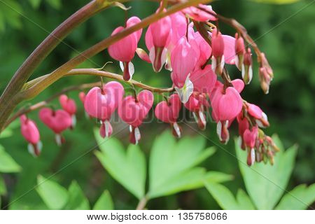 Pink bleeding heart flower close up with green leaves