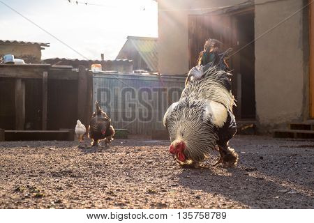 White Black Rooster And Hen In The Yard