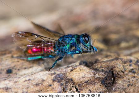 Ruby-tailed wasp (Chrysis sp.) cleaning antennae. Cuckoo wasp in family Chrysididae with bright metallic blue and red markings also known as emerald wasps