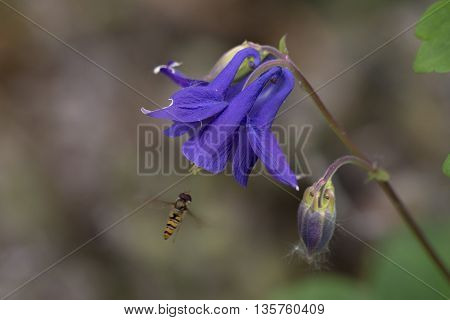 One flower of Common Columbine (Aquilegia vulgaris) flowering and visited by a Marmalade Hoverfly (Episyrphus balteatus)