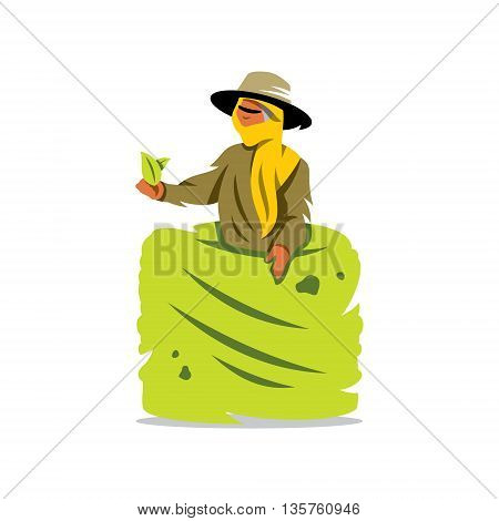 Woman with a Basket gather Tea leaves from the bush Isolated on a White Background