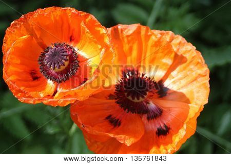 Large orange poppies with black spots flowers two