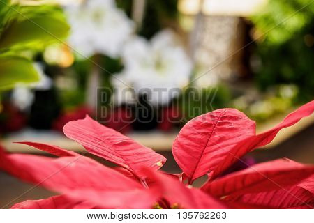 Vibrant red Poinsettia leaves with shallow depth of field, accented by an out of focus blurred out background. Leaves show some vein details.